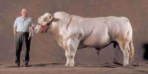 Clenbuterol Cows!!